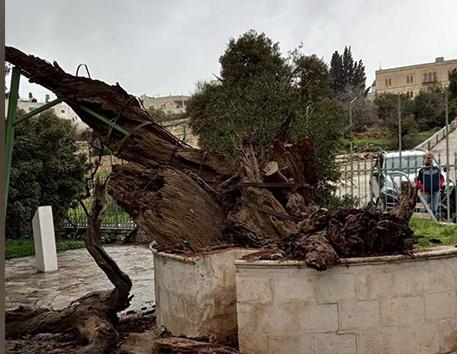 Пророчество о конце света: в Хевроне рухнул Дуб Авраама