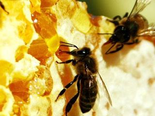 Вслед за пчелами погибнет все человечество